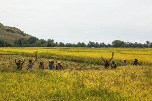 Maumere farming