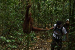 Orangutan feeding Bukit Lawang