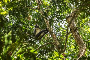 Thomas leaf monkey Leuser