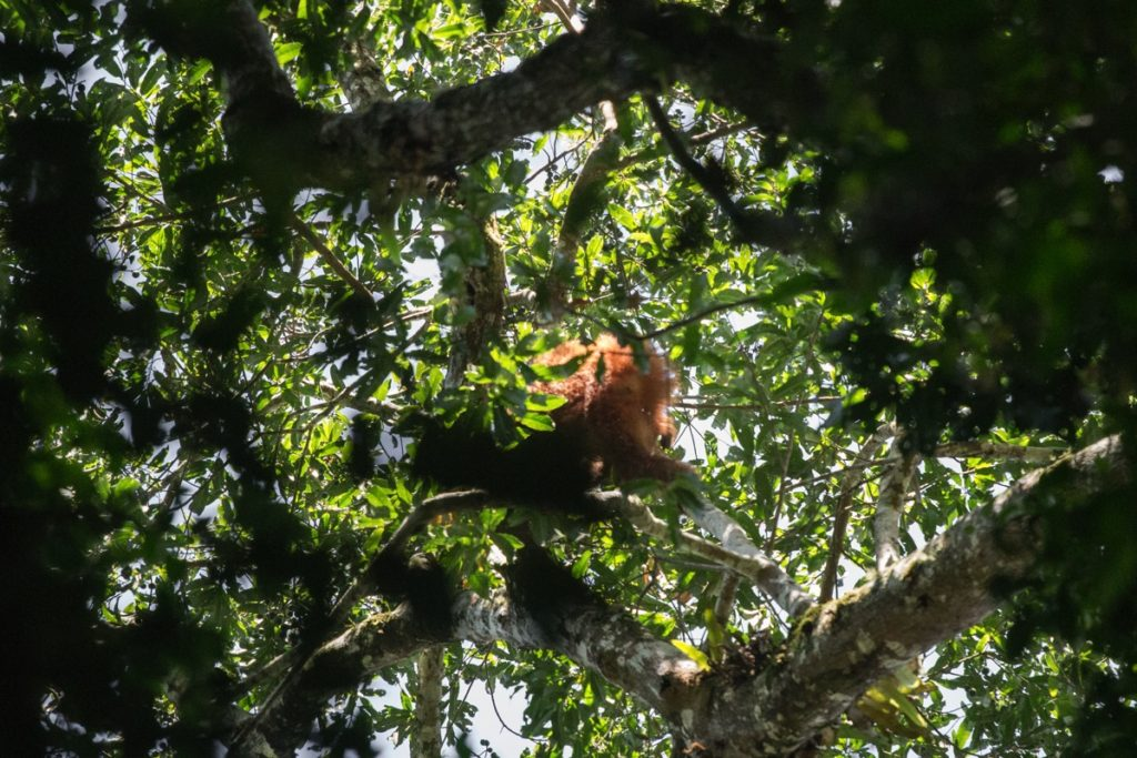 Orangutan Leuser