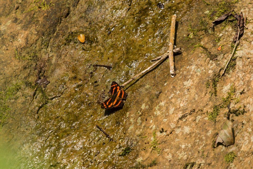 Butterfly Leuser