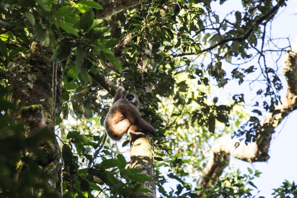 Lar gibbon Leuser