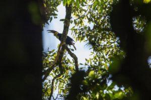 Hornbill Leuser