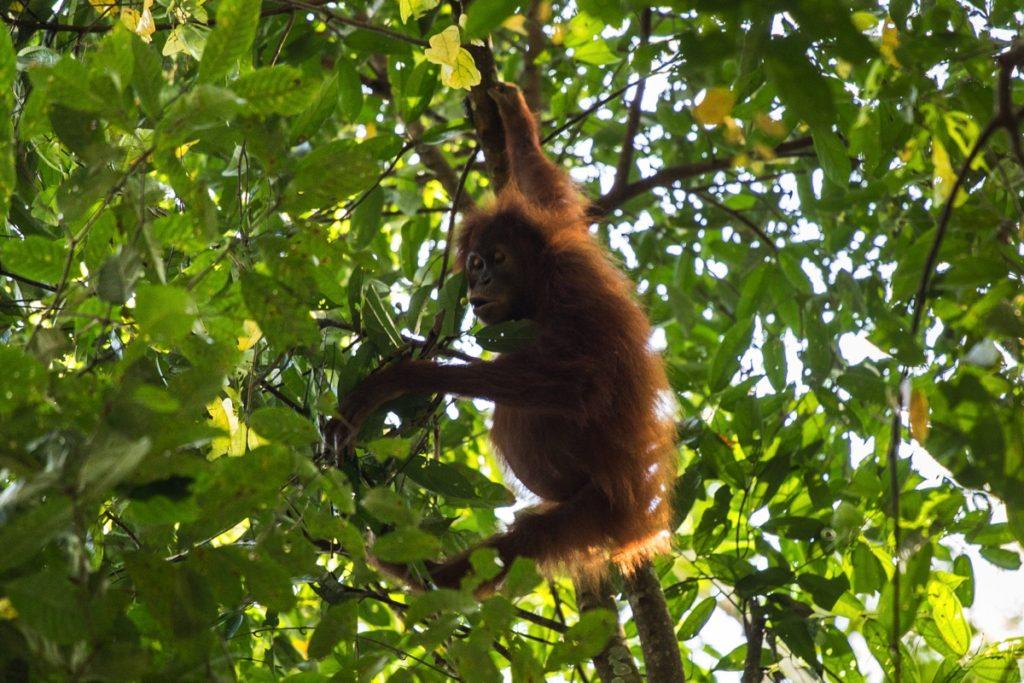 Orangutan Ketambe
