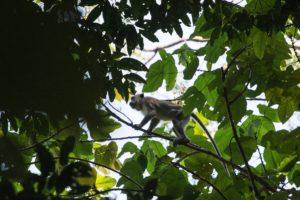 Macaque Leuser