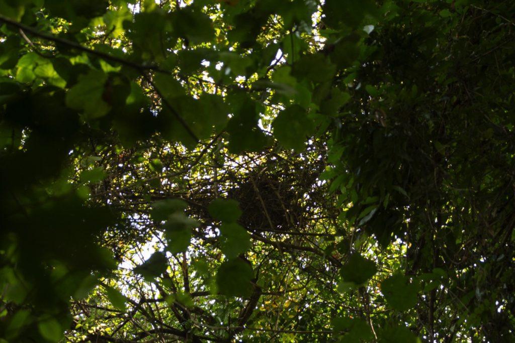 Orangutan nest Leuser