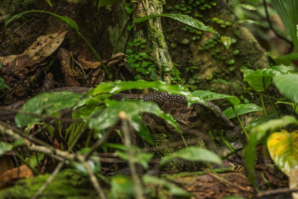 Lizard Leuser