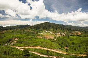Tea plantation Padang