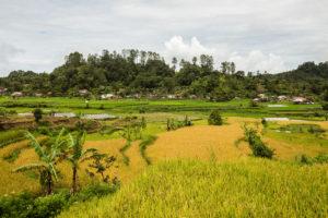Ricefields Maninjau