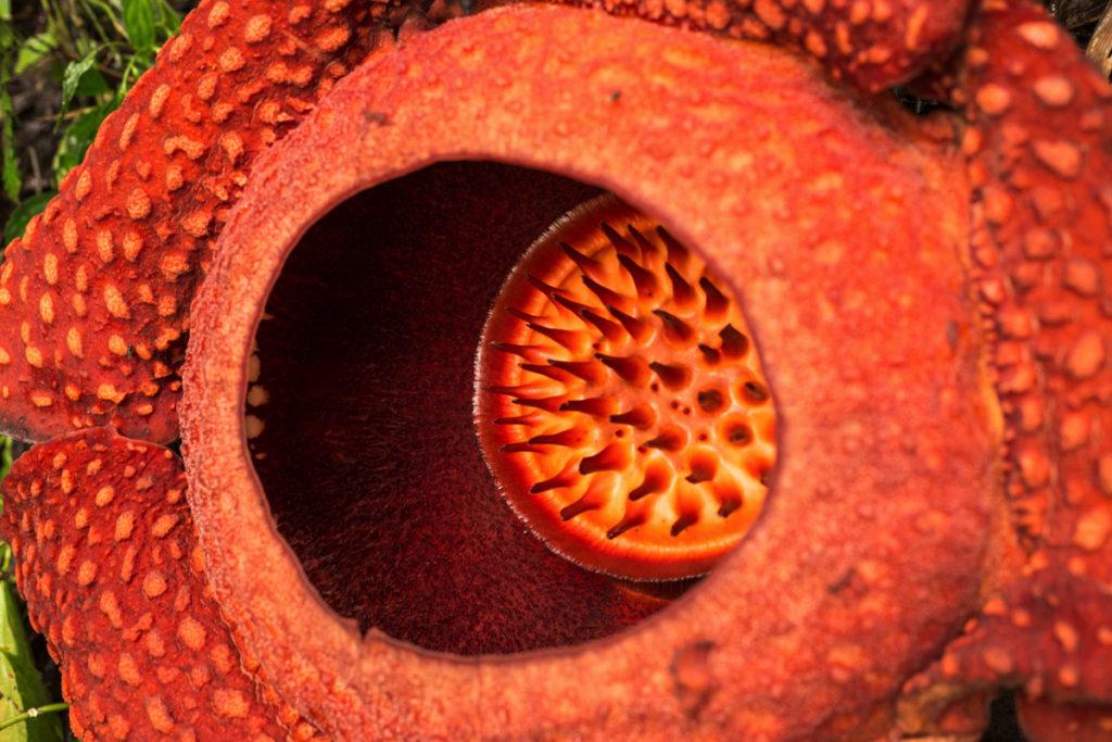 Rafflesia Sumatra