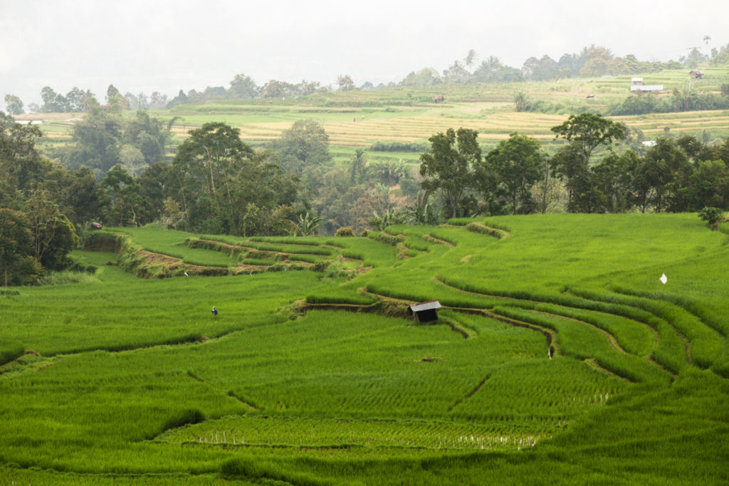Ricefields Sumatra