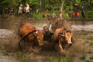 Pacu Jawi Sumatra
