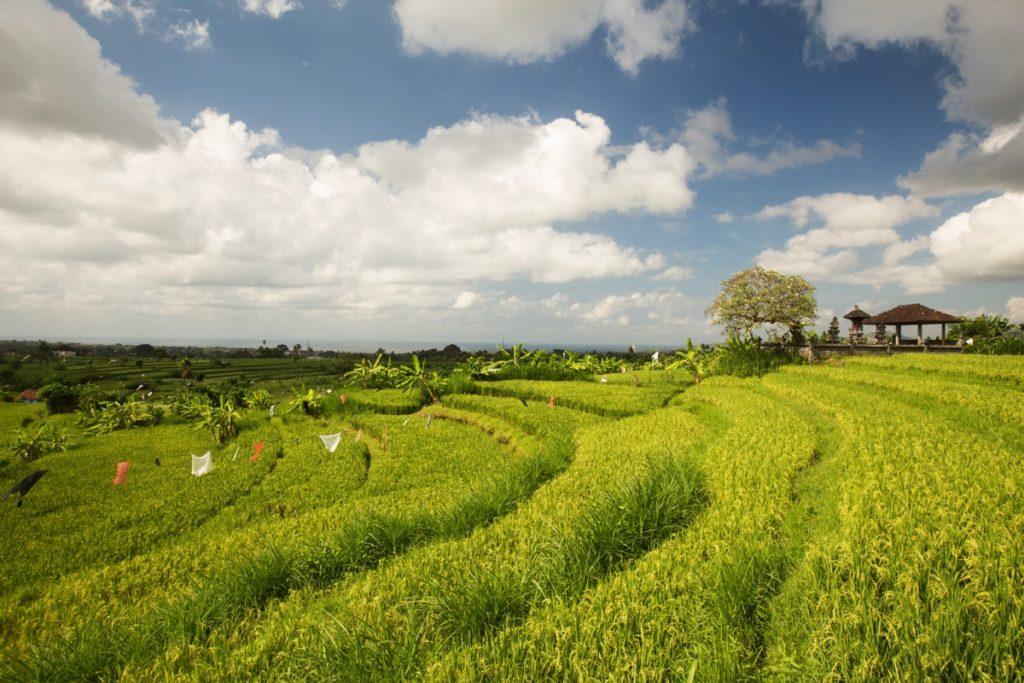 Amlapura ricefields