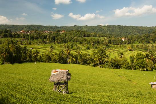 Bali Ricefields