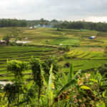 Malang ricefields