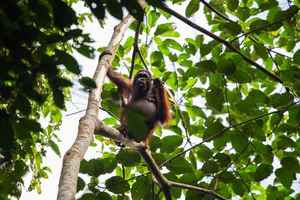 Orangutan Kutai Kalimantan