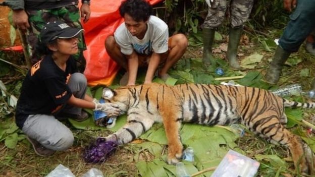 Sumatran Tiger Captured